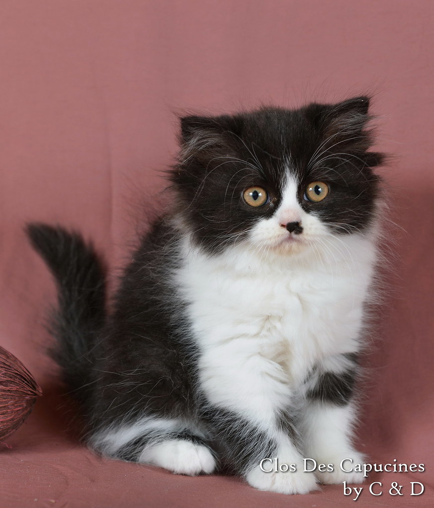 chaton british longhair noire et blanche
