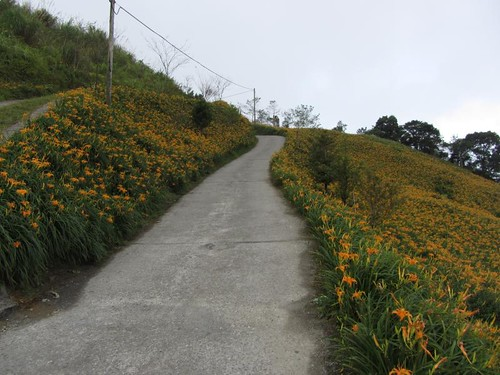 Jinzhen Mountain Daylily Field