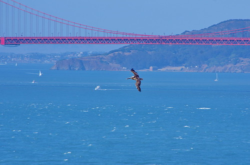 San Francisco on Lands End trail between Point Lobos and Eagle Point 27 Pelican in flight under the Golden Gate Bridge