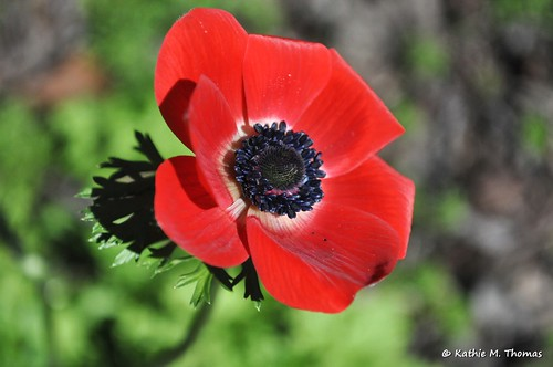 235-366 Red Anemone