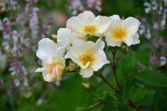 blossom, garden roses, flower, plant, rosa rubiginosa, macro photography, rosa canina, wildflower, flora, rosa multiflora, rosa pimpinellifolia, petal,