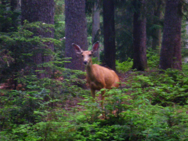 camp deer
