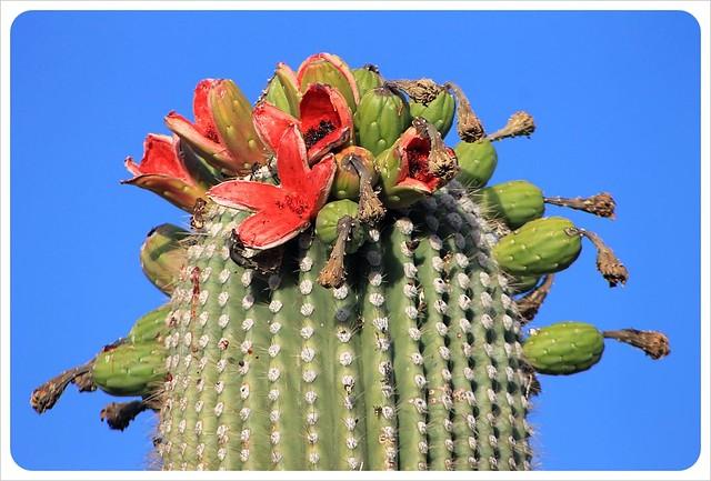 tucson saguaro flowers