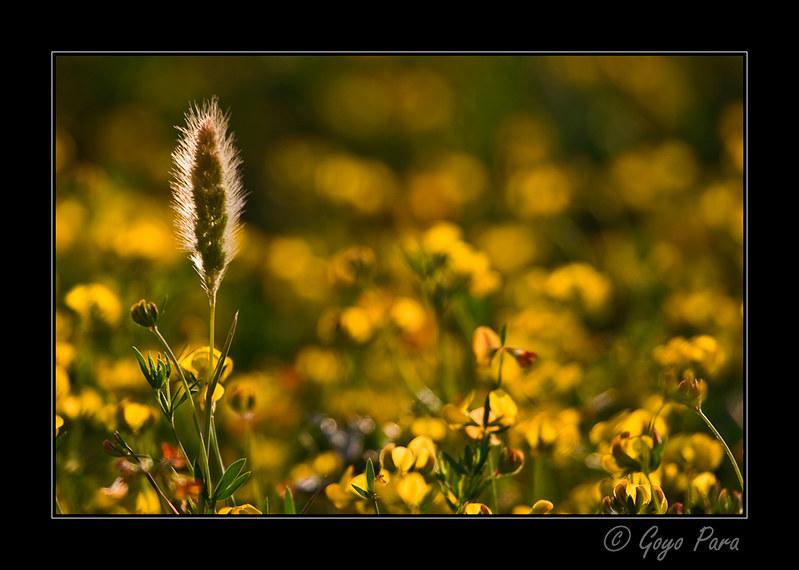 Prado amarillo
