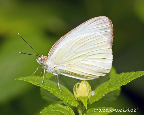 white plant butterfly insect pennsylvania wildlife great southern dee hersheygardens naturerules rockadee