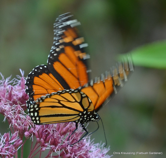 Danaus plexippus, Monarch (Butterfly)