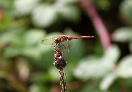 Patient dragon fly