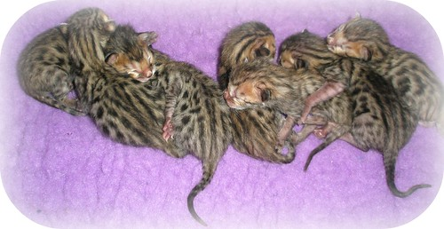 bengal_kittens