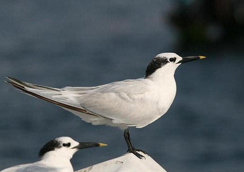 Sandwich tern - Sea kayaking with Nature Expeditions in Peru
