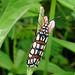 Atteva Aurea Moth (Ann & Walter Burns)
