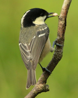 Canon EOS 60D.Canon 70-300mm Lens.Tiny Coal Tit With Seed.September 3rd 2012.