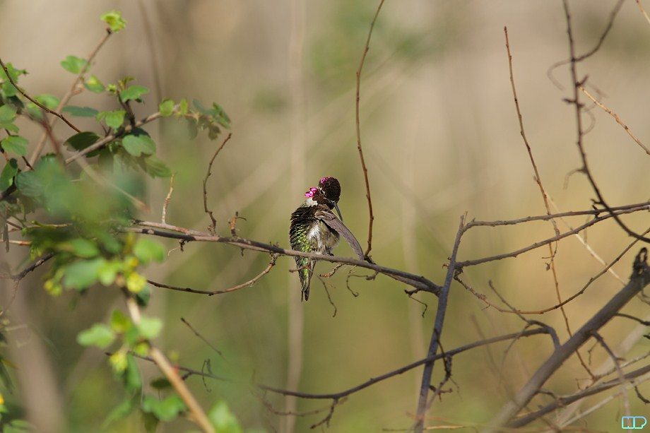 Anna's Hummingbird breeding 011812