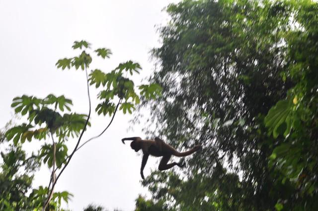 Un mono araña saltando uno de los canales de árbol en árbol, ... la verdad es que viajan a una velocidad increíble entre los árboles. Tortuguero - 7950177772 a353c0cd71 z - Tortuguero, entre la tranquilidad y la vida salvaje