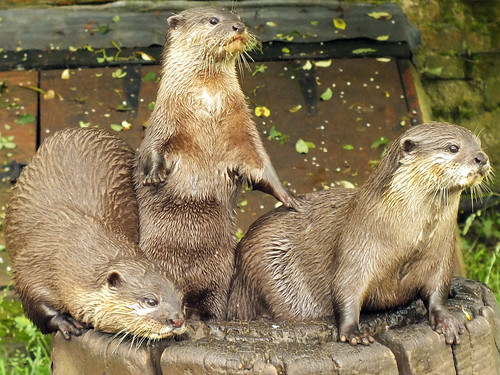 three river otters on a stump. The ones on either side are down on all fours, looking intently at something off screen. The middle one is standing up, also looking at whatever's off in the distance; its front paws are extended, with one touching the back of the otter on its left.