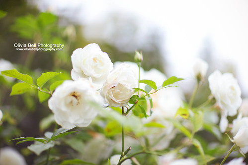 English White Roses - Day 133/365