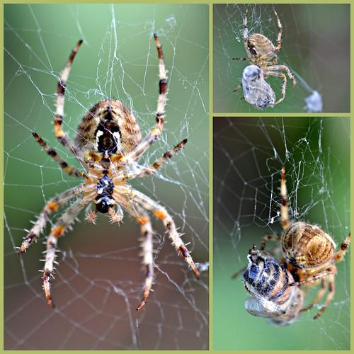 garden spider hoverfly nikond3200 fantasticnature naturesgallery naturespotofgold nikonflickraward naturescreations natureskingdom aboutthenaturewithlove intensosanimals certifiedphotographerlevel1 anythingnikonexceptpeople unlimitedinsectslevel1