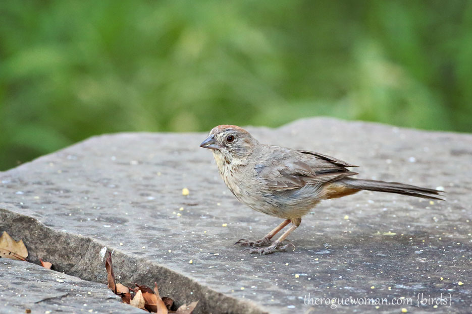 090112_05_bird_ground_canyonTowhee