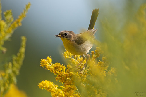 Common yellowthroat warbler, female