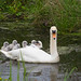 Swan and cygnets (Ed Drewitt)