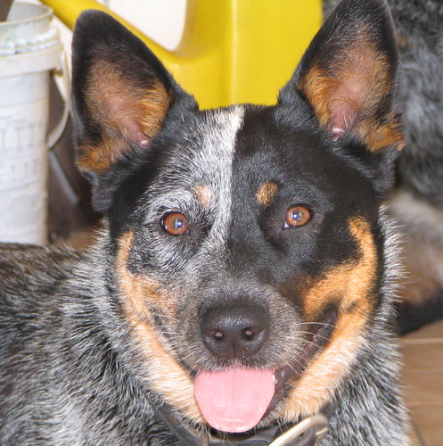 Jess with pink tongue (Australian Cattle Dog)