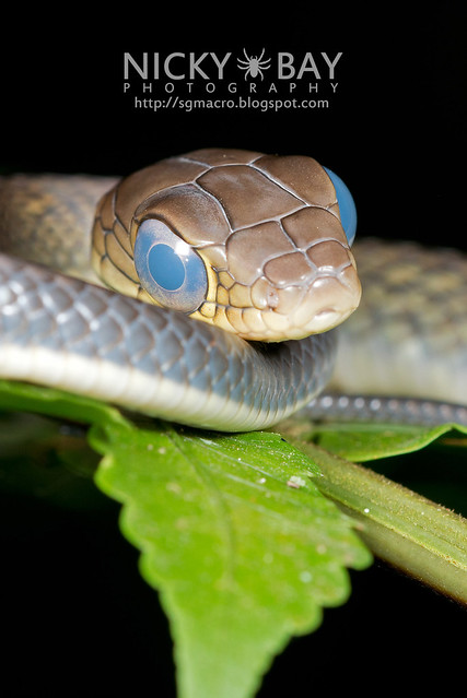White bellied rat snake (Ptyas fusca) - DSC_2209