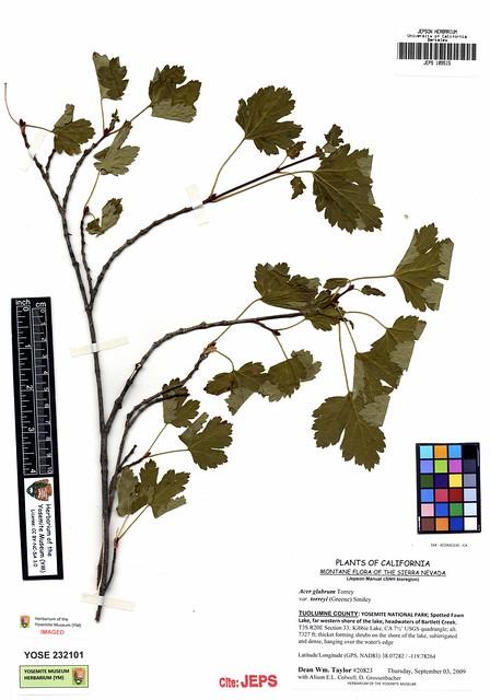Header of Acer glabrum var. diffusum