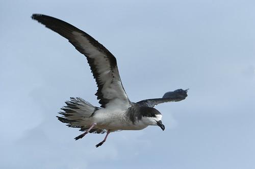 Hawaiian Petrel / Ua`u (Pterodroma sandwichensis)
