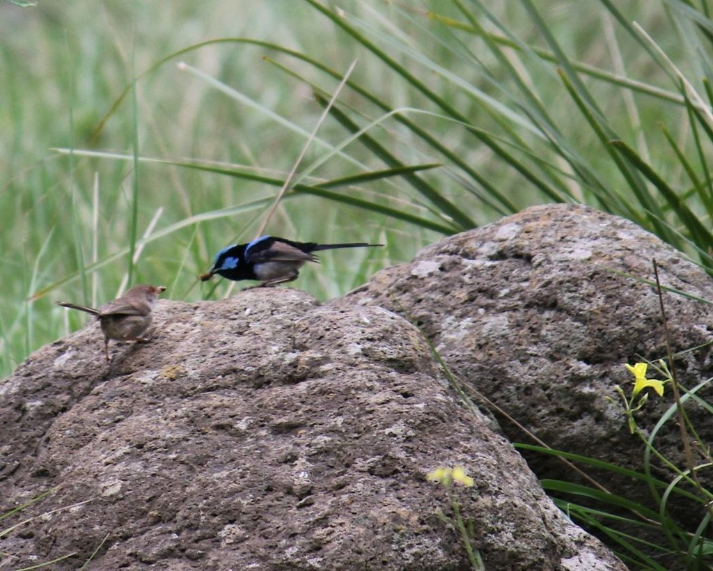 A beautiful blue Wren