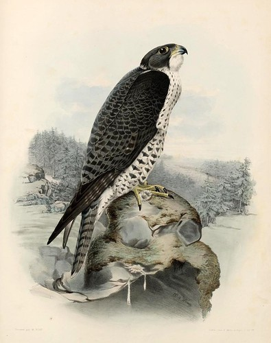 08- Gerifalte  Haggard macho- Traité de fauconnerie..1853- Hermann Schlegel- Universität Düsseldorf