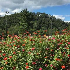 Virginia's welcome zinnias