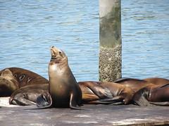 Summer sea lions at Pier 39