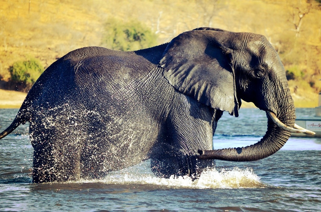 Elephant Zambezi Queen