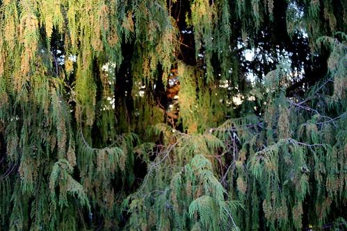 IMG 3480 Heritage Trees Armidale