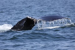 Humpback whale - Whale and dolphin watching in Peru with Nature Expeditions