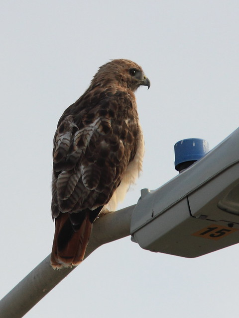 Red-tailed Hawk 20120819