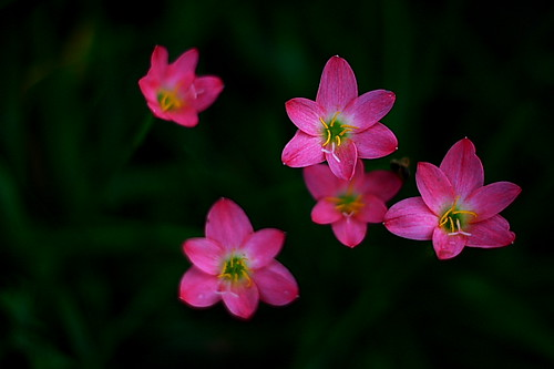 pink india flower canon 50mm nadia asia dof five 2012 50mm18 westbengal krishnanagar 40d canon40d samird