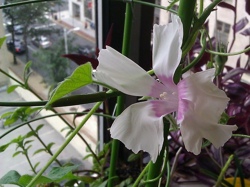 Japanese morning glory (Ipomoea nil) by Gerris2
