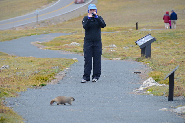 Friendly Baby Marmot atop Rocky Mountain National Park