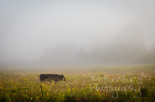 Cow wandering through the wildflowers with morning fog