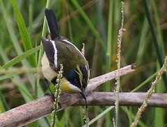Multi-coloured rush-tyrant - Birding in Peru with Nature Expeditions