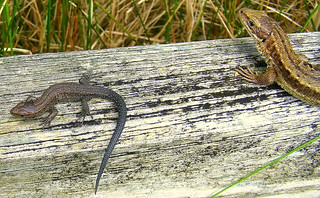Fuji FinePix S5800-S800.Super Macro.On The Garden Fence,Baby And Adult Common Lizards.August 25th 2012.