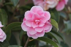 blossom(0.0), camellia sasanqua(1.0), flower(1.0), plant(1.0), flora(1.0), camellia japonica(1.0), theaceae(1.0), pink(1.0), petal(1.0),