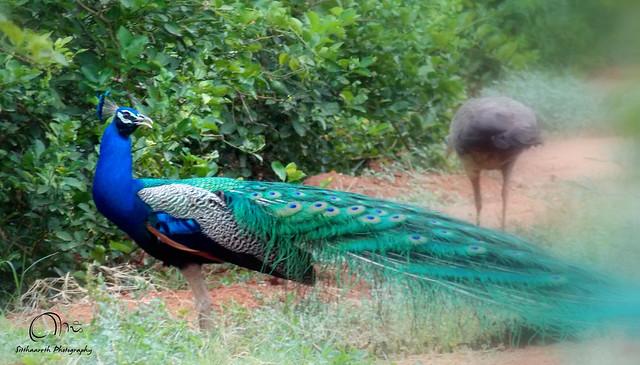 essay on our national bird peacock