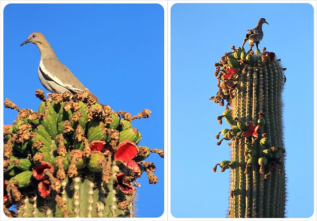 doves on saguaro cacti