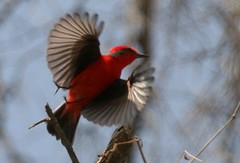 Vermilion flycatcher 2  - Birding with Nature Expeditions in Peru