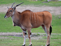gemsbok(0.0), pack animal(0.0), hartebeest(0.0), grazing(0.0), white-tailed deer(0.0), impala(0.0), gazelle(0.0), animal(1.0), antelope(1.0), mammal(1.0), horn(1.0), common eland(1.0), fauna(1.0), pasture(1.0), bongo(1.0), wildlife(1.0),