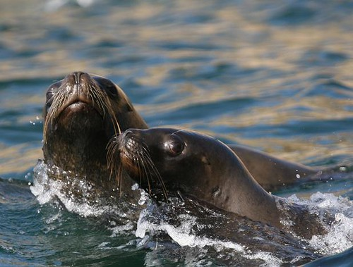 South american sea lions  - Sea kayaking with Nature Expeditions in Peru 2