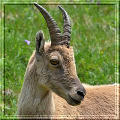 Ibex portrait (Alps-France)