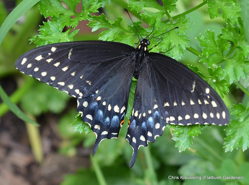 Papilio polyxenes, Eastern Black Swallowtail