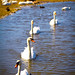 Swan Parade by Fairy_Nuff
